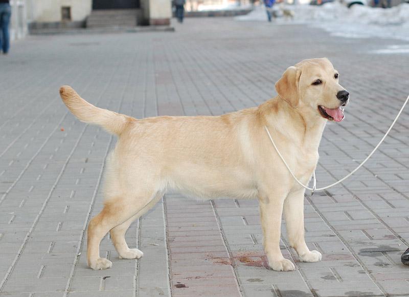 Палевый щенок лабрадора