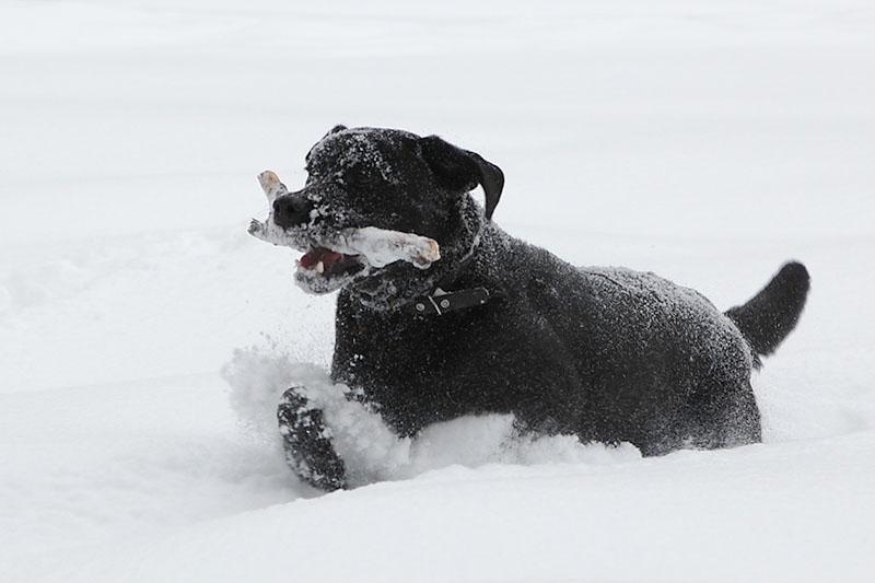 Лабрадор Бера играет в снегу - коррекция