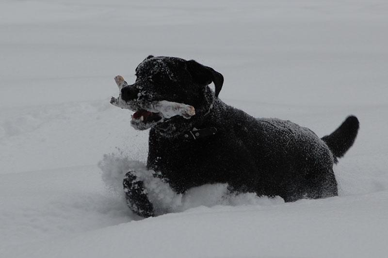 Лабрадор Бера играет в снегу - оригинал